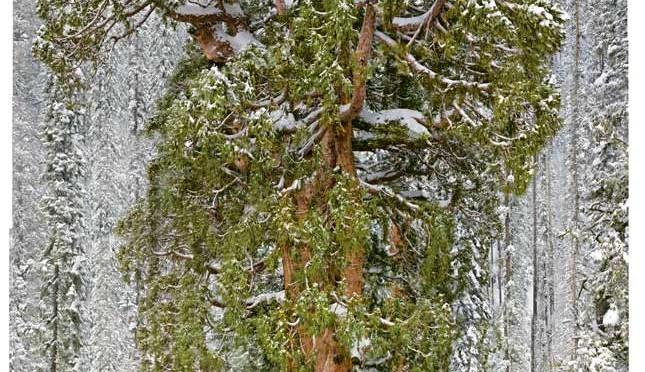 Record : 3200 ans et plus de 75 mètres pour le «Président», un des plus vieux arbres au monde qui nous a vus naître