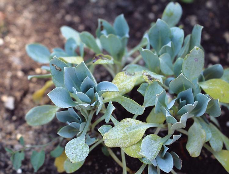 http://www.femmeactuelle.fr/jardin/jardinage-les-conseils/plante-vivace-la-mertensie-ou-plante-huitre-29535
